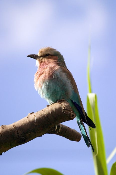 photoblog image Lillac Breasted Roller
